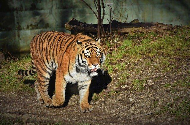 tiger fact min