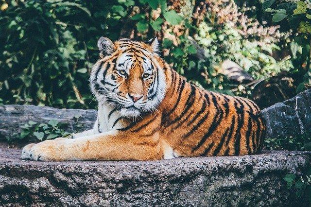 tiger min