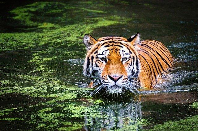 tiger swimming min