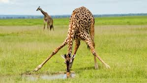 Giraffee drink water min