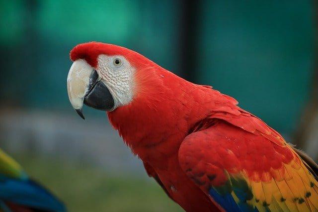 Scarlet Macaw min