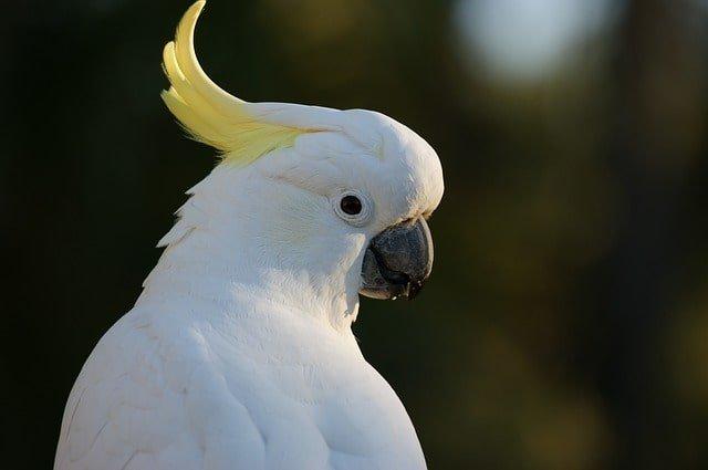 Sulphur Crested Cockatoo min