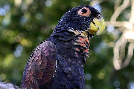 bronze winged min