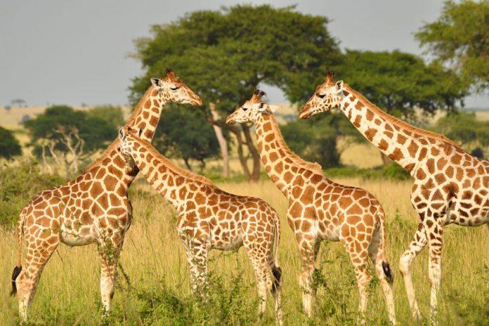 giraffe min