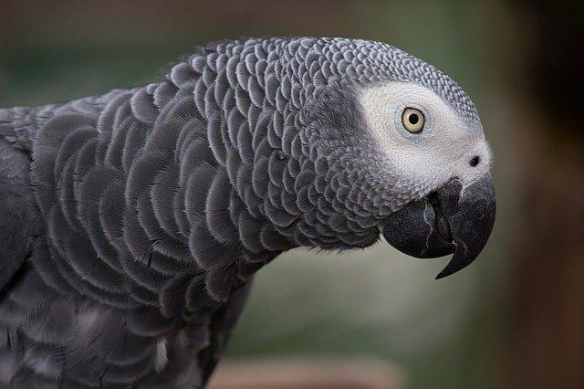 grey parrot min