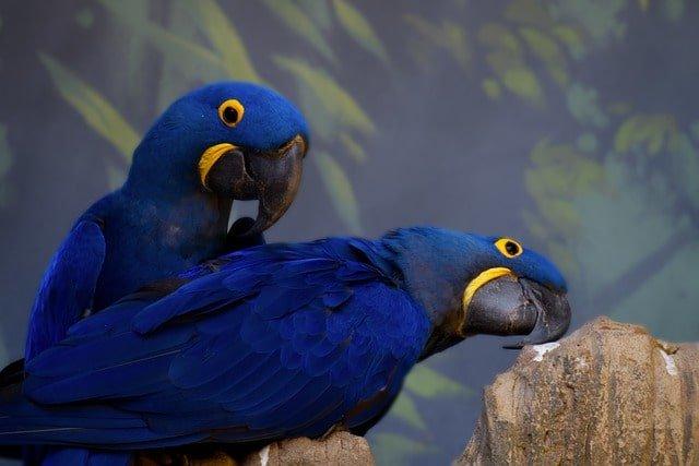 hyacinth macaw min